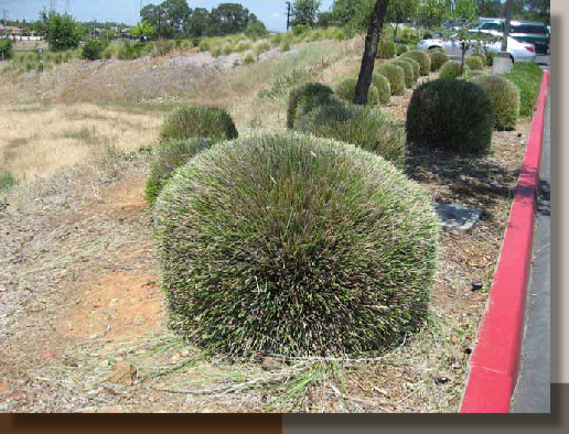 When To Cut Ornamental Grasses Ornamental grasses fall pruning time to prune mcdonald garden ornamental grasses fall pruning pruning resources garth ruffner landscape architect workwithnaturefo